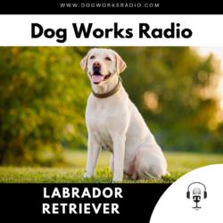 The daily dog Labrador Retriever dog works radio