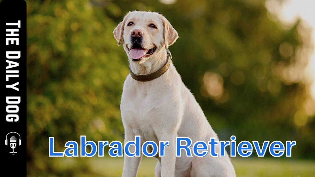 Labrador retriever daily dog dog works radio